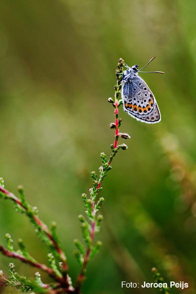 Vlinder Jeroen Peijs